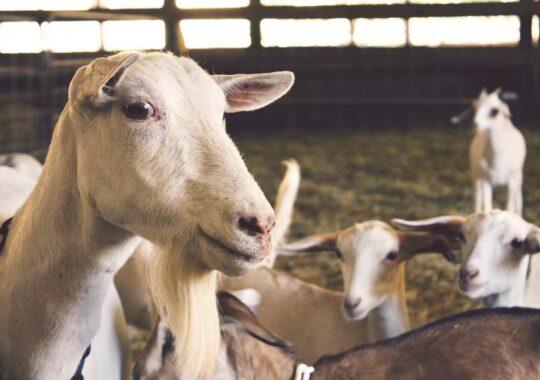 Gestaţia şi fătarea la capre