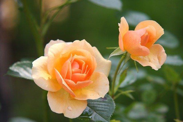 Fertilizați tufele de trandafiri cu coji de banană