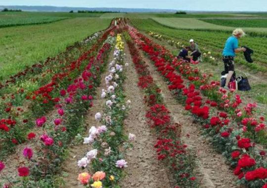 Florile din Voivodina au o mireasmă frumoasă în Europa