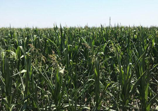 Culturi agricole rezistente la secetă