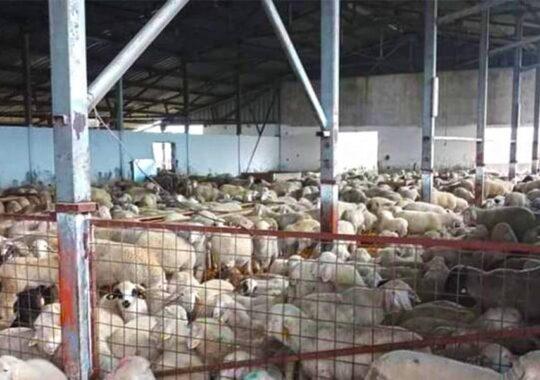 În Israel ajung 25.000 de miei din Temerin